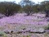 Field of Dark Mulla Mulla, Murchison region, WA