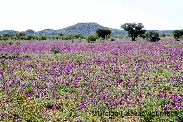 Field of wildflowers beside Binns Track, south east of Alice Springs