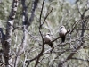 A pair of Black-Faced Woodswallows, N'Dhala Gorge