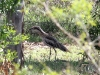 Male Bush Stone Curlew at Ross River Resort