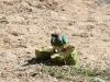 Australian Ringneck Parrot feasting on a Bitter Melon, Woodland walk