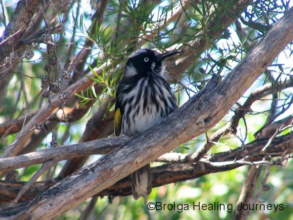 New Holland Honeyeater, Cape le Grand National Park, south western WA