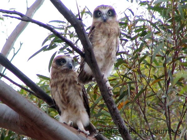 Juvenile Southern Boobook Owls, daytime, Red Banks Conservation Reserve, South Australia