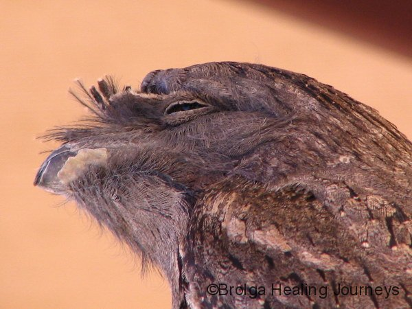 Close-up of the feathers around the face of a Tawny Frogmouth - a wonderful disguise when they are perched in a tree.