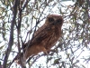 Adult Southern Boobook Owl, watching over its juvenile offspring from a neighbouring tree, Red Banks Conservation Reserve, SA