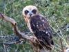 Southern Boobook Owl, Alice Springs Desert Park
