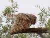Barn Owl, Alice springs Desert Park