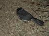 Australian Owlet Nightjar, Alice Springs Desert Park Nocturnal House