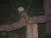 Tawny Frogmouth near campsite at night, Parry Beach, south western WA