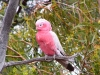 Galah - mature male, Murchison region WA