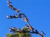Galahs enjoy the late afternoon sunshine, Pilbara region WA