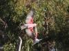 Galah in flight, Dakalanta Sanctuary