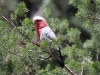 Galah feeding on the native White Cypress Pines., Mt Remarkable
