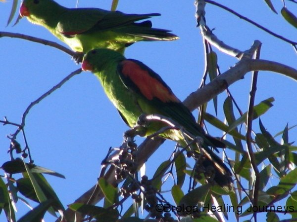 Red Winged Parrots, Louth NSW