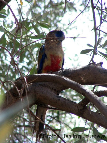 Blue Bonnet Parrot - Louth NSW