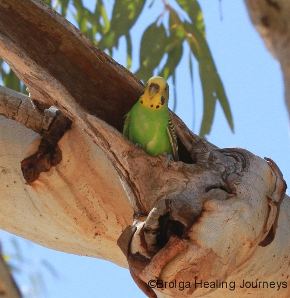 Budgerigar in nesting hollow, Todd River nth of Alice Springs NT