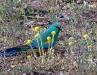 Mulga Parrot, Mutawintji Ntl Pk NSW