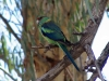 Mallee Ringneck, Louth NSW