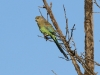 Mulga Parrot, Dakalanta Sanctuary, Sth Aust