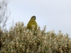 Rock Parrot, Pondalowie Bay
