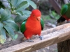King Parrot - male - Bunya Mtns, Qld