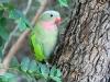 Princess Parrot, Alice Springs Desert Park