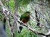 Western Rosella, West Cape Howe Ntl Pk WA