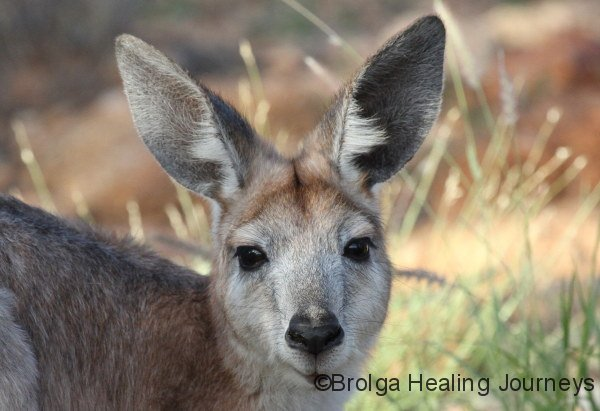 Female Wallaroo, Todd river north of Alice Springs