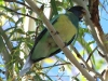 Juvenile Australian Ringneck, above our campsite, Alice Springs