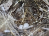 Painted Finch nest & eggs in spinifex