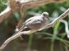Diamond Dove, Australia's smallest native Dove