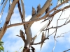 Flock of Cockatiels, Todd River