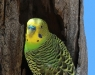 Close-up of Budgerigar at its nesting hollow, Todd River nth of Alice Springs