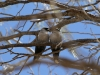 Black Faced Woodswallows share a romantic moment, Todd River
