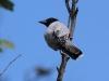Black-faced Cuckoo Shrike (male)