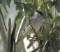 Black Faced Cuckoo Shrike (female) Todd River