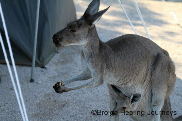 Caught in the act.  Mother Western Grey Kangaroo had just relieved us of $10 worth of bananas while we were out walking