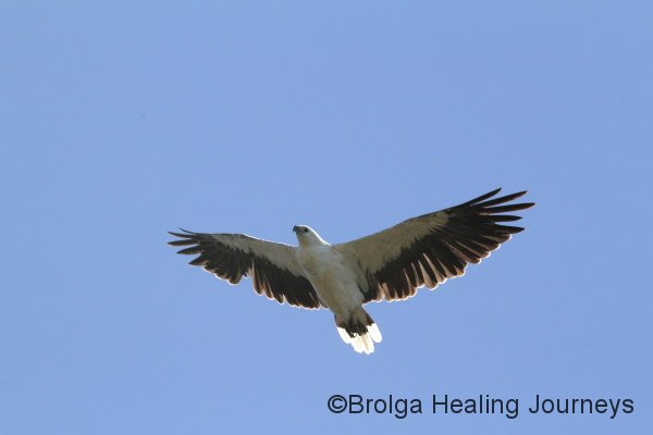A White Bellied Sea Eagle flies overhead