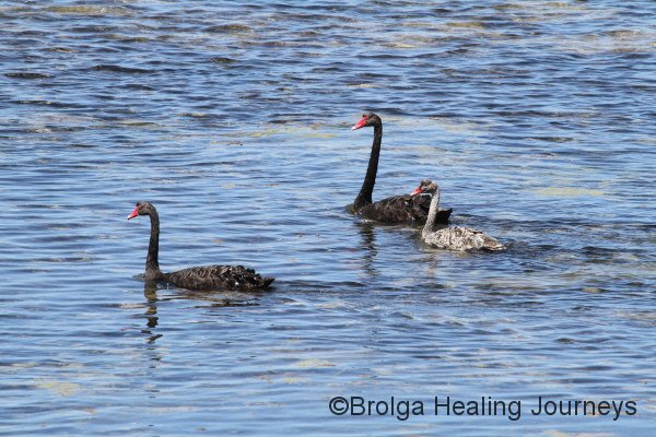 Black Swans pass Surfleet Cove