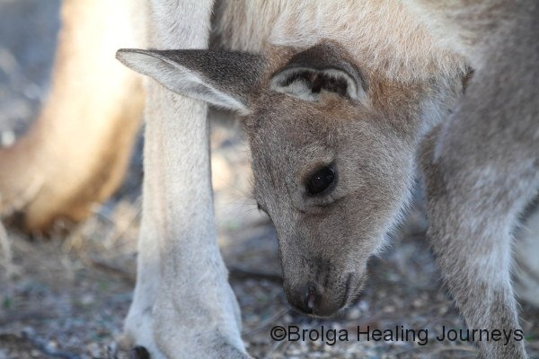 A campsite visitor - Western Grey Kangaroo joey - looks out from the safety of mother's pouch.