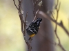 Spotted Pardalote at Surfleet Cove