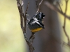 Spotted Pardalote at Surfleet Cove 2
