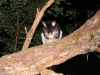 Common Brushtail Possum, WA South West colouring, Warren Ntl Pk WA