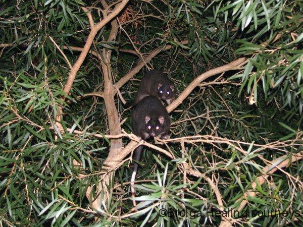 Western Ringtail Possums, Busselton WA