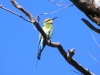 Rainbow Bee-Eater, Coolbro Creek, Pilbara WA