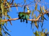 Three Rainbow Bee-Eaters huddle together in the cool morning air at Ragged Hills Gold Mine, Pilbara WA