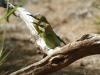 Rainbow Bee-Eaters, Alice Springs NT