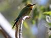 Rainbow Bee-Eater, Alice Springs NT