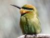 Rainbow Bee-Eater, a colourful, elegant little bird
