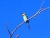 Rainbow Bee-Eater, Roebuck Bay, near Broome WA
